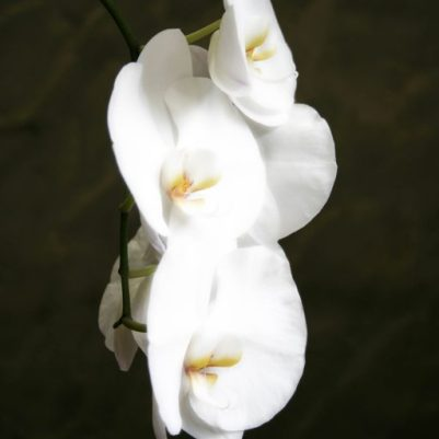 cropped-orchid_portrait1.jpg